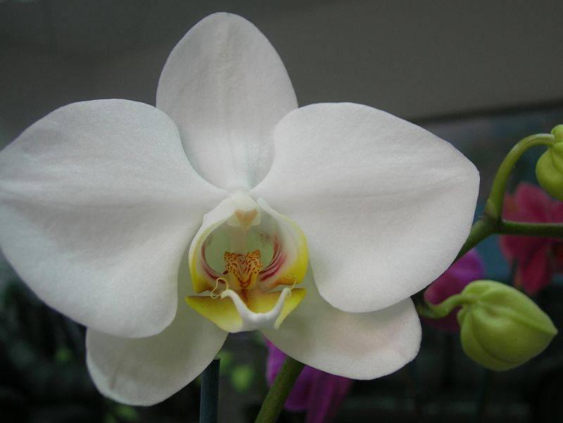Фаленопсис белый: описание сортов орхидеи и фото, особенности ухода русский фермер