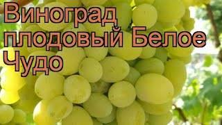 Виноград белое чудо: посадка и уход, описание сорта и основные характеристики
