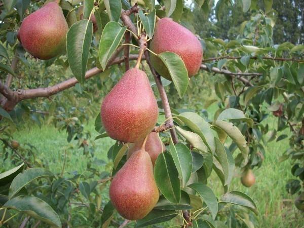 Универсальный сорт для садоводов центральной россии — груша «десертная россошанская»