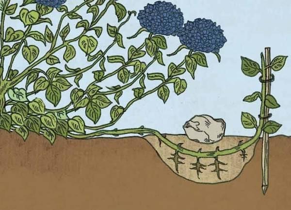 Размножение гортензии черенками весной, летом, осенью