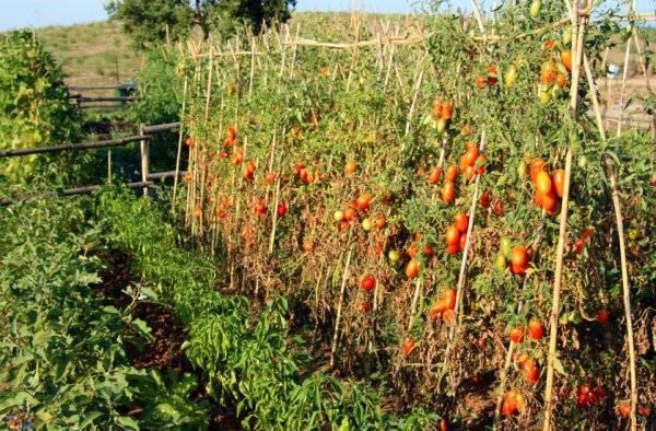 Как подвязать помидоры в открытом грунте - лучшие способы