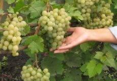 Сорт винограда Триумф — описание и особенности выращивания