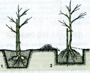 Посадка саженцев груши весной: подробная инструкция
