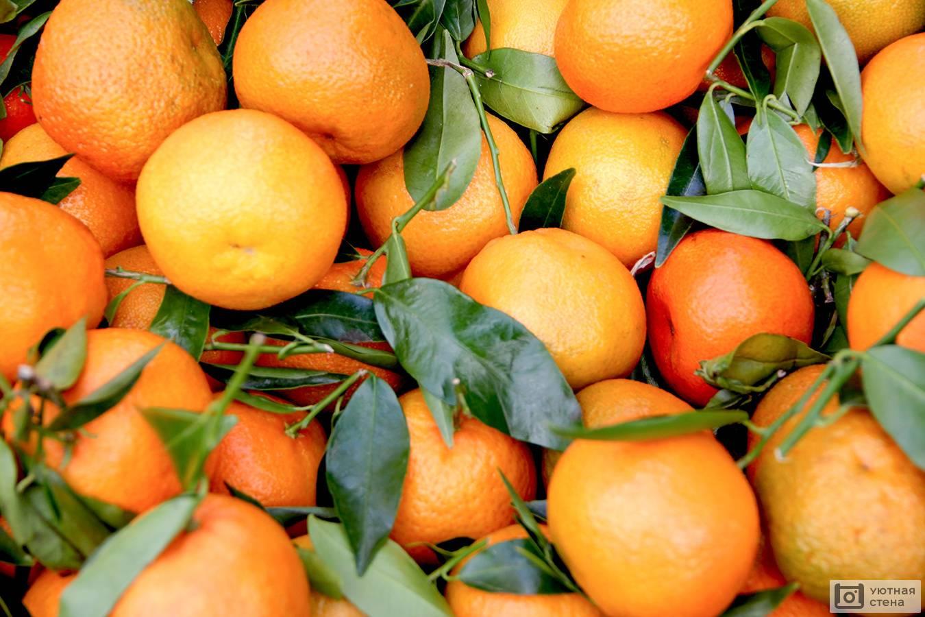Когда созревают мандарины в марокко. марокканские мандарины. что же это за фрукт