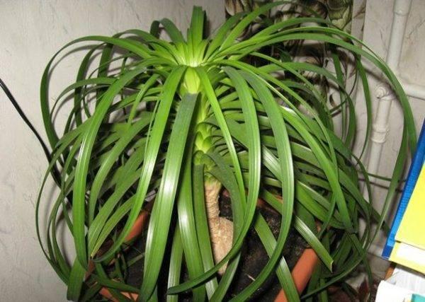 Нолина и бокарнея (бутылочное дерево) - уход в домашних условиях:  полив, пересадка, размножение, болезни и их лечение