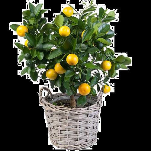 Выращивание лимона лунарио - агрономы