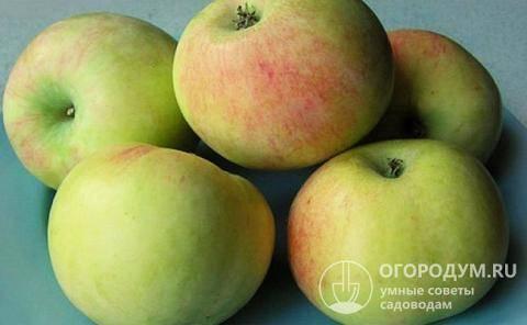 Яблоня имрус: описание сорта, посадка и уход