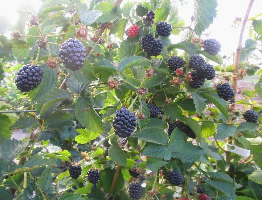 Ежевика полар: описание, достоинства и недостатки, урожайность
