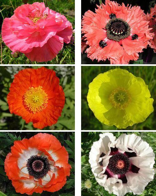 Мак восточный — яркий и красивый акцент в вашем саду. всё о выращивании и уходе за многолетним цветком