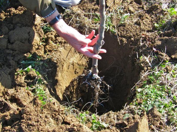 Посадка груши летом с закрытой корневой системой