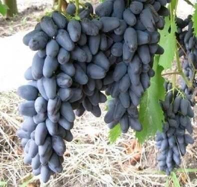 Описание винограда ромбик: как посадить, как ухаживать