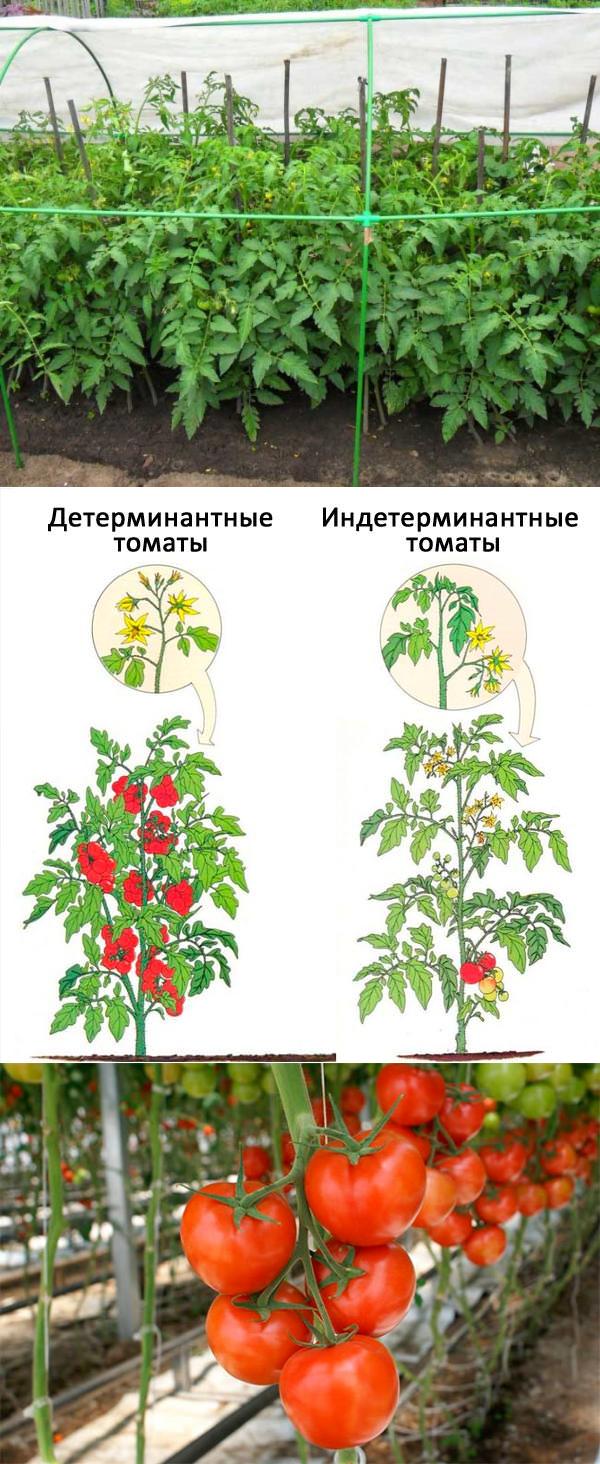 Детерминантные и индетерминантные сорта томатов – что это?