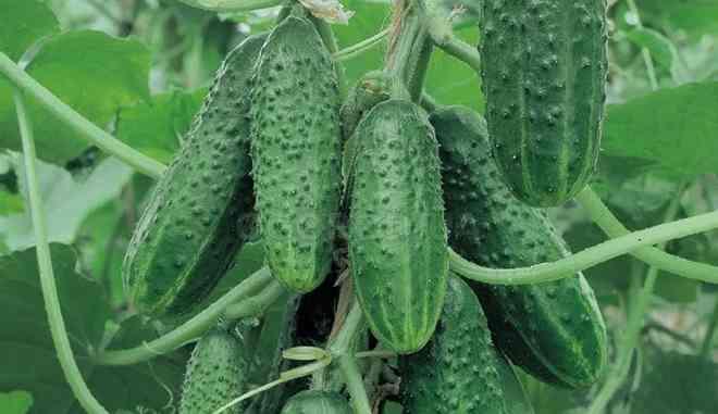 Выращиваем сорт огурцов Виноградная гроздь