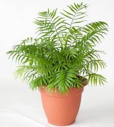 Хамедорея изящная (32 фото): уход в домашних условиях, пересадка пальмы после покупки в магазине, размножение и размеры