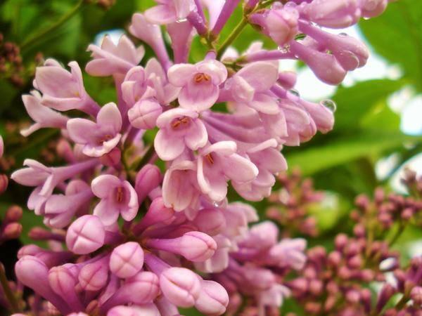 Сирень: описание, выращивание и уход в саду