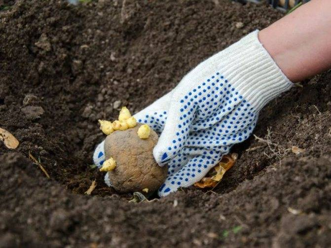 Удобрения для картофеля при посадке в лунку: что и как нужно вносить в землю весной, а также какие подкормки потребуются по окончании времени посевных работ? русский фермер