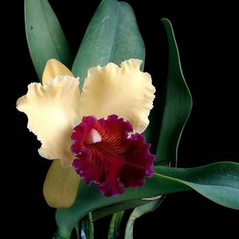 Как правильно выращивать и размножать орхидею масдеваллию?