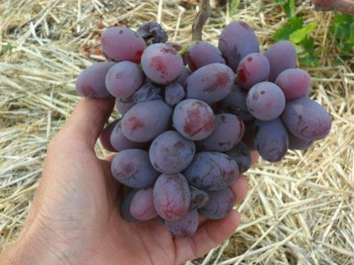 Виноград сорт фаворит, описание и его характеристики, как ухаживать