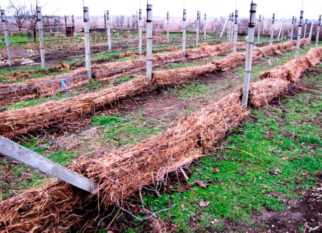 Когда снимать укрытие с винограда после зимы весной?