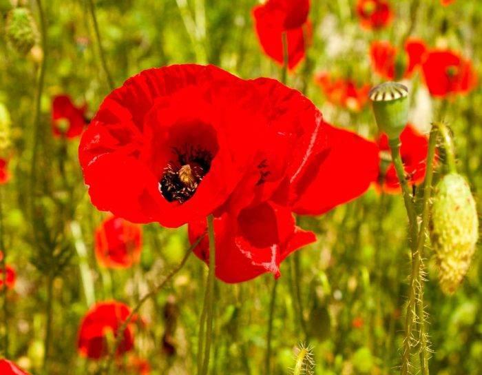 Декоративный мак: многолетний цветок на фото, сорта и виды, посадка и уход при выращивании в саду