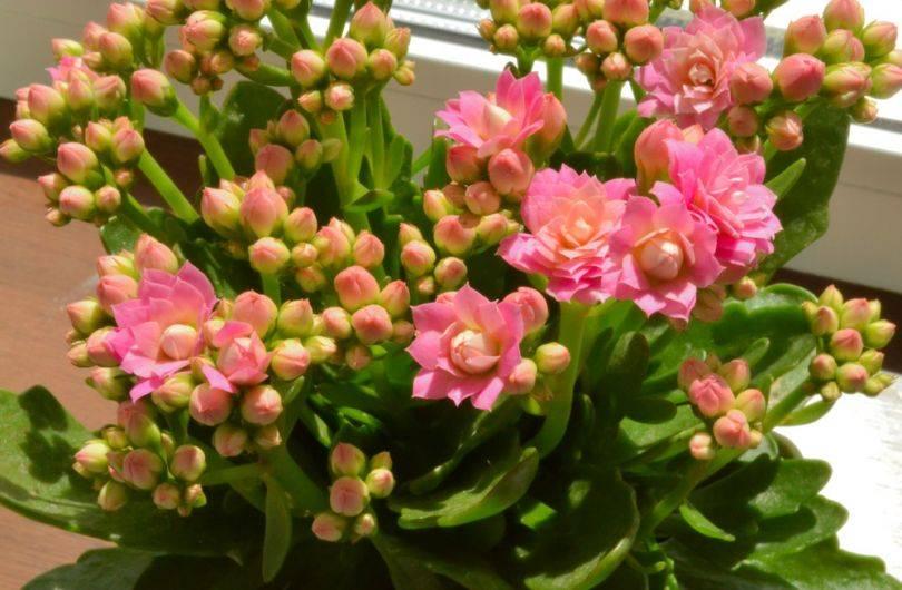 Как выращивать каланхоэ в домашних условиях: посадка, полив, размножение
