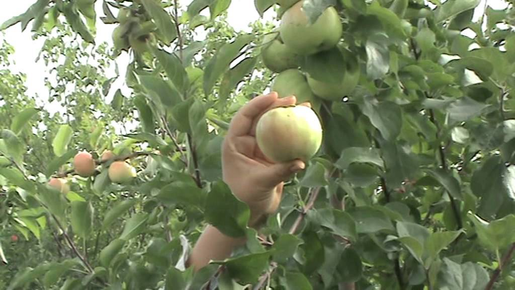 Описание сорта яблони братчуд: фото яблок, важные характеристики, урожайность с дерева