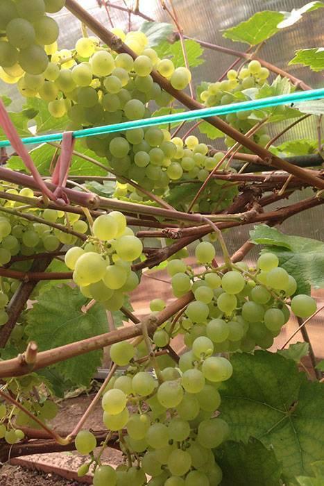 Как укрыть виноград на зиму в подмосковье: основы ухода, видео