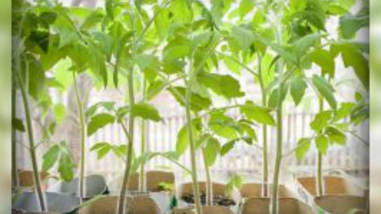 Что делать с переросшей рассадой томатов