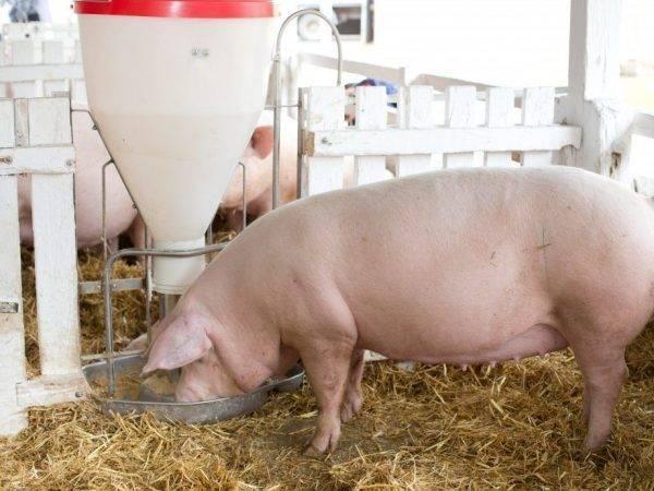 Крупная белая порода свиней: характеристика, описание, фото