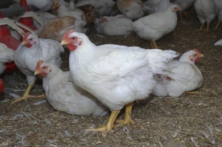 Бройлер cobb 500 (29 фото): описание породы, таблица веса цыплят по дням. режим инкубации. отзывы владельцев