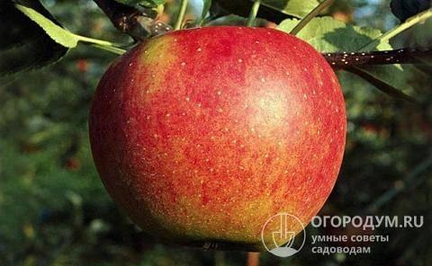 Описание, характеристики и подвиды яблони сорта услада, тонкости выращивания