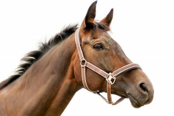 Каспийская порода лошадей: фото, описание, содержание
