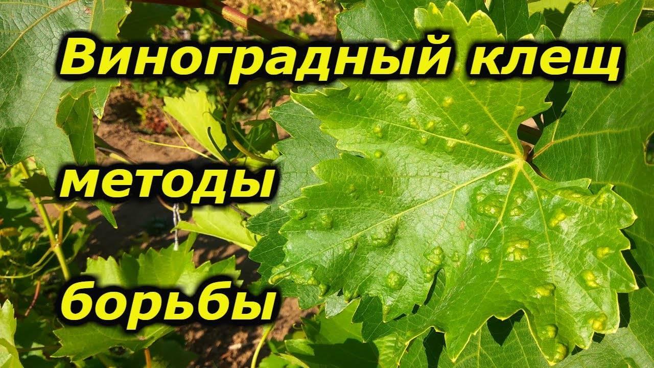 Виноградный клещ (зудень): борьба с ним, препараты, фото