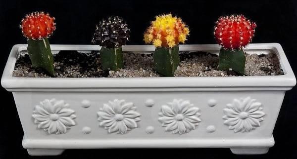 Гимнокалициум:фото, уход в домашних условиях, популярные виды кактуса