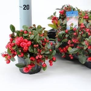 Выращивание гаультерии лежачей (gaultheria procumbens): в открытом грунте, в домашних условиях, посадка и уход, размножение