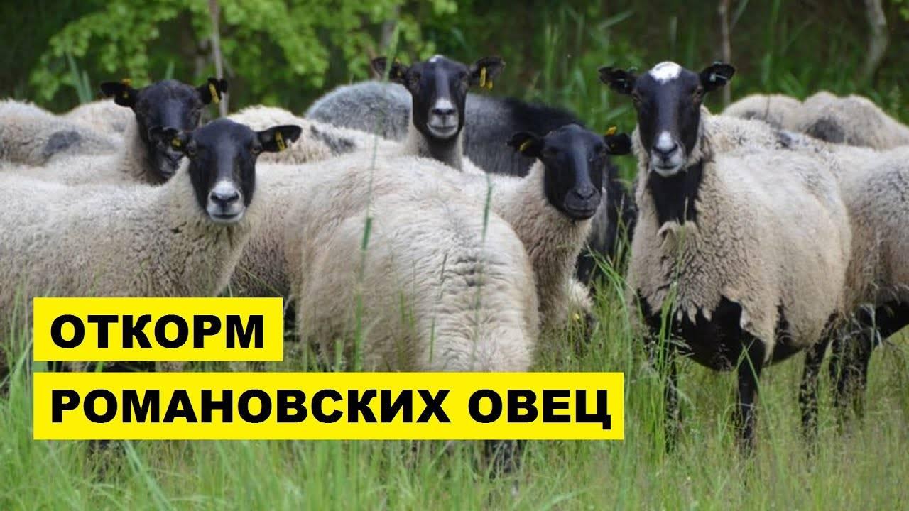 Содержание овец в домашних условиях