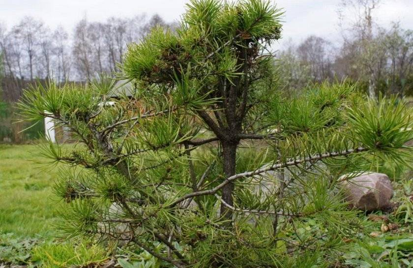 Обрезка сосны (17 фото): как сделать ниваки из сосны обыкновенной своими руками? схемы обрезки. как обрезать деревья, чтобы они были пышнее?