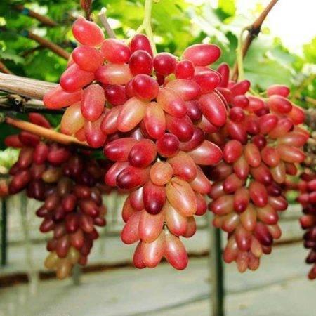 Виноград маникюр фингер: описание сорта, фото, отзывы