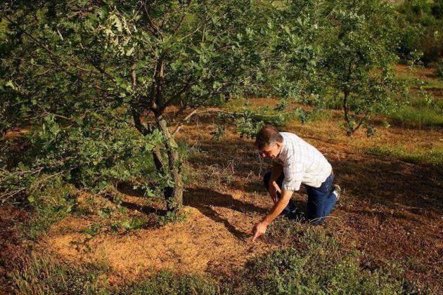 Трюфель — описание, основные виды, произрастание, польза, выращивание + 63 фото