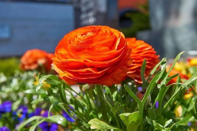 Цветок ранункулюс - посадка и уход, выбор клубней