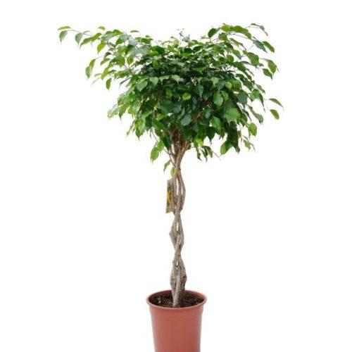 Причудливое карликовое деревце со свежими яркими листьями — фикус «бенджамина наташа»