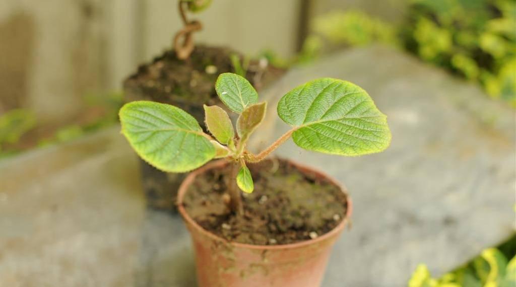 Как растет киви — выращивание из семян, уход за деревом и его плодами. 140 фото киви и советы по выращиванию фруктового дерева в саду