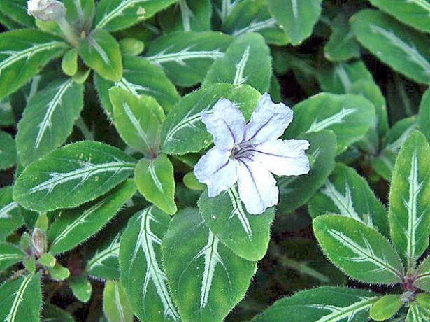 ᐉ цветок руэллия: уход в домашних условиях, фото, выращивание из семян - roza-zanoza.ru