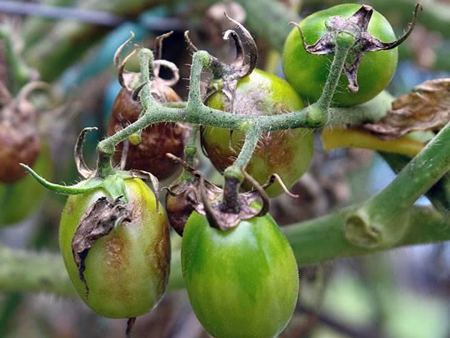 Как бороться с фитофторой на помидорах в теплице народными методами: лучшие способы лечения и профилактики болезни