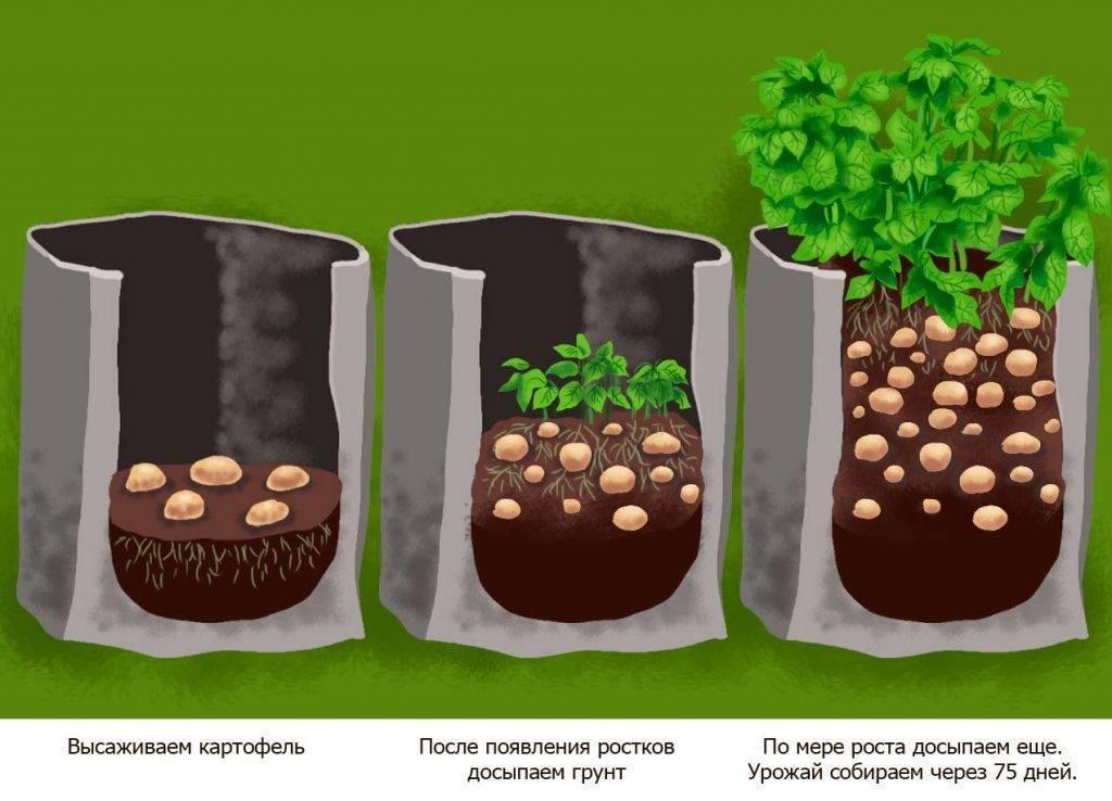 Как вырастить картошку: технология выращивания и агротехника ухода в открытом грунте, фазы развития, как правильно возделывать и ухаживать на даче, как растет