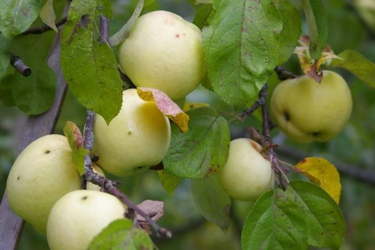 Ранние сорта яблонь: какие самые лучшие скороспелые деревья, а также их фото и описание