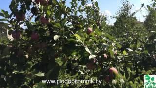 Как получить хороший урожай яблок «слава победителям». подробная характеристика сорта «слава победителям»:достоинства