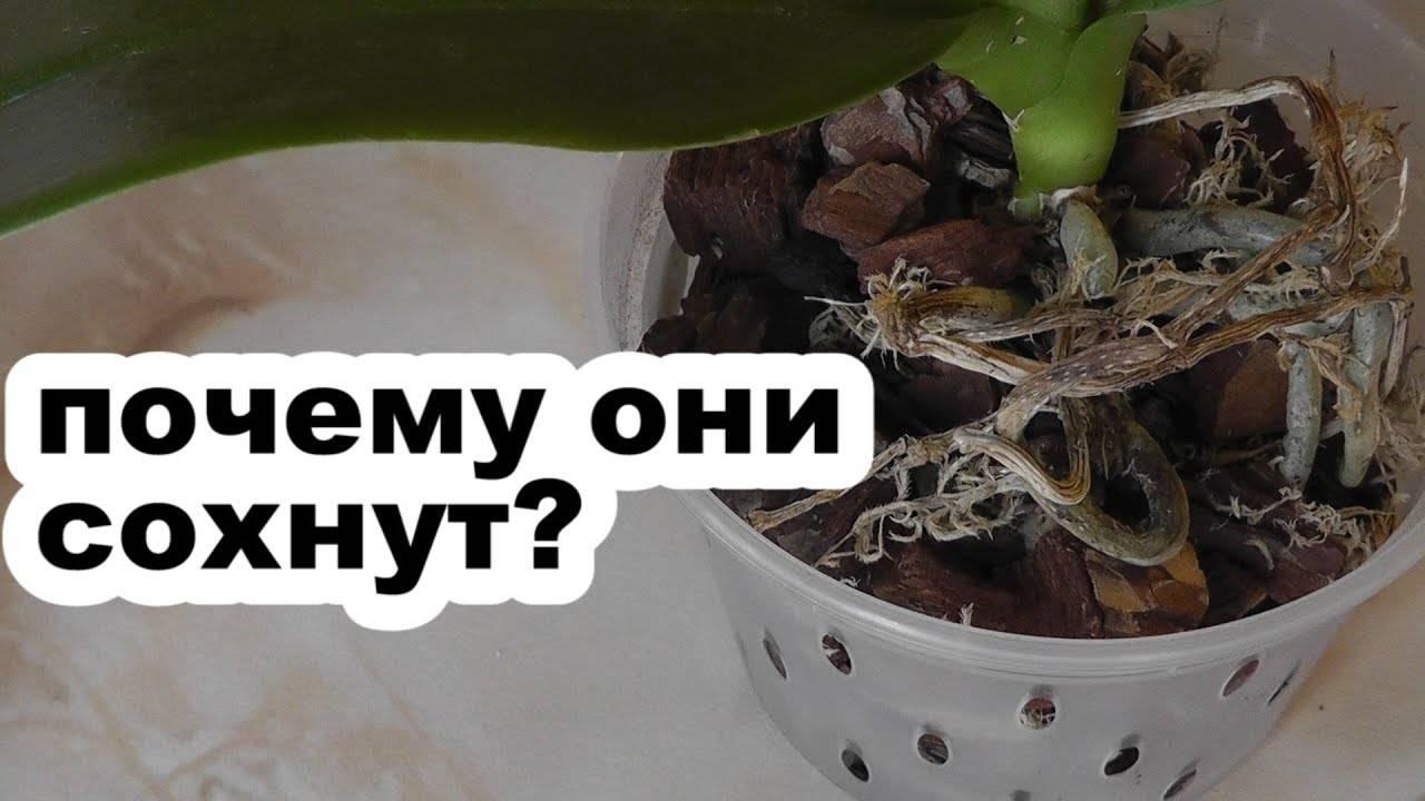 Что делать, если сохнут корни орхидей? причины, реанимация цветка, фото