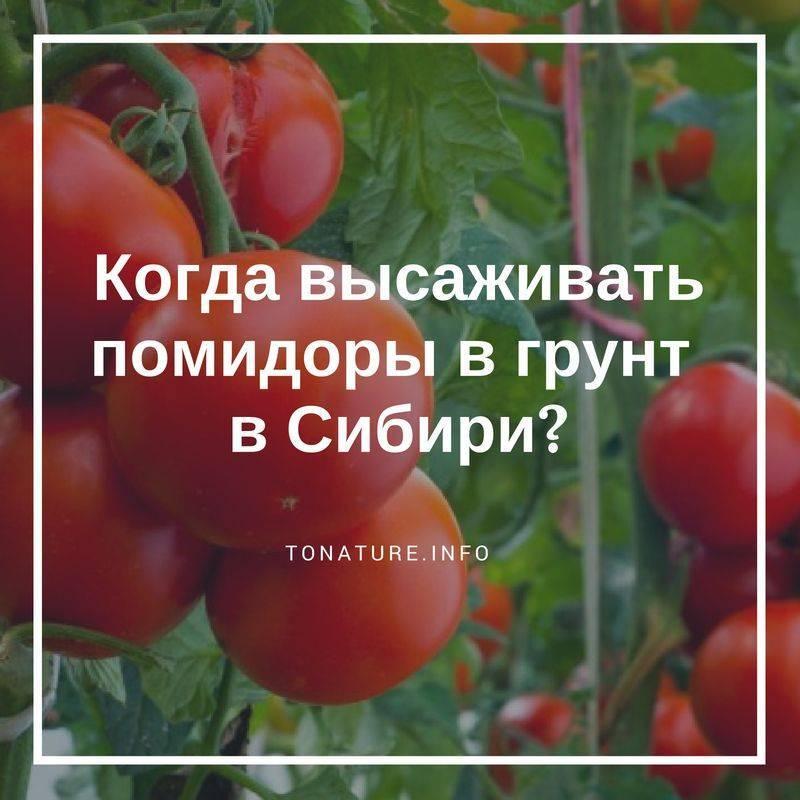 Когда и как правильно сажать томаты на рассаду в Сибири