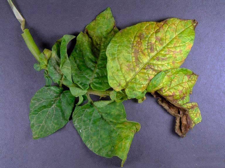 Насекомые-вредители и болезни картофеля: фото, описание, защита и лечение эффективными методами